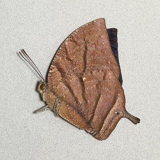 Nymphalidae Memphis (=Anaea) philomena philomena M A1 Peru