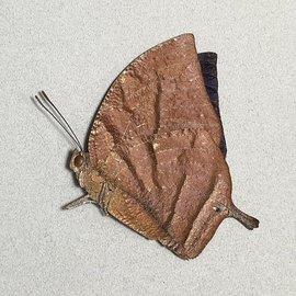 Nymphalidae Memphis (=Anaea) philomena philomena M A1/A1- Peru