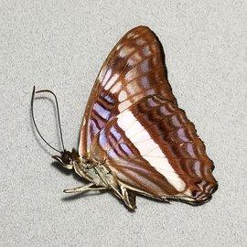 Nymphalidae Adelpha aethalia M A1 Peru