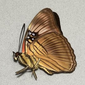 Nymphalidae Adelpha mesentina M A1 Peru