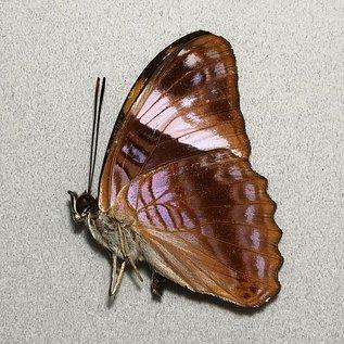 Nymphalidae Adelpha boreas boreas M A1 Peru