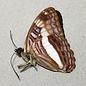 Nymphalidae Adelpha jordani jordani M A1 Peru