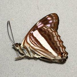 Nymphalidae Adelpha delvita M A1 Peru