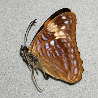 Nymphalidae Adelpha irma nadja M A1 Peru