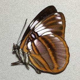 Nymphalidae Adelpha epione agilla M A1 Peru