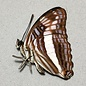 Nymphalidae Adelpha ixia f. fundania M A1 Peru