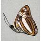 Nymphalidae Adelpha attica lesbia F A1 Peru