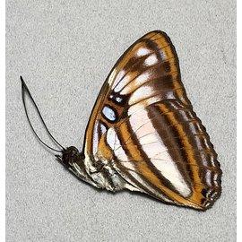 Nymphalidae Adelpha attica lesbia M A1 Peru