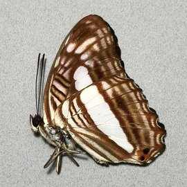 Nymphalidae Adelpha iphiclus iphiclus M A1 Peru