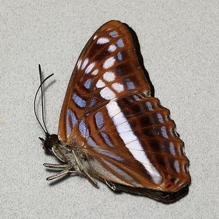 Nymphalidae Adelpha sichaeus M A1 Peru