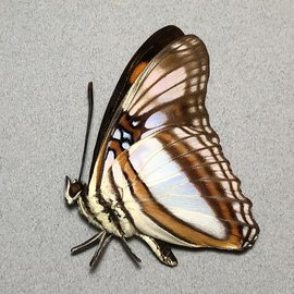 Nymphalidae Adelpha serpa godmani M A1 Peru