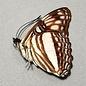 Nymphalidae Adelpha erotia f. lerna M A1 Peru