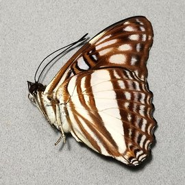 Nymphalidae Adelpha erotia f. lerna M A1/A1- Peru