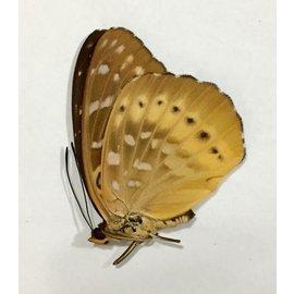 Nymphalidae Lexias panopus ssp. F A1 Philippines