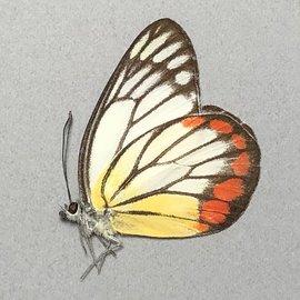 Pieridae Delias hyparete hyparete M A1 Indonesia