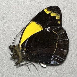 Pieridae Delias niepelti anamesa M A1- PNG