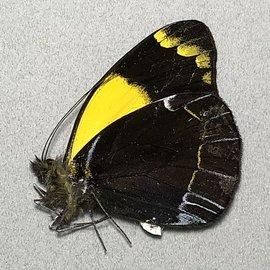 Pieridae Delias niepelti anamesa M A1 PNG