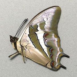 Nymphalidae Polyura schreiber bilarensis M A1 Philippines