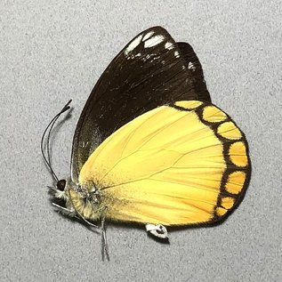 Pieridae Delias rothschildi rothschildi M A1 Indonesia