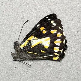 Pieridae Delias hallstromi hallstromi M A1 PNG
