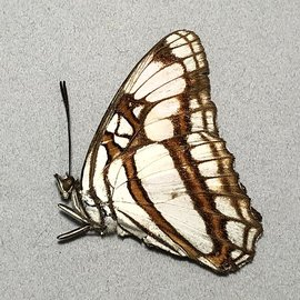Nymphalidae Adelpha zea M A1 Peru