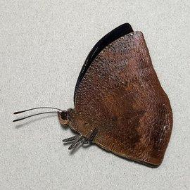 Nymphalidae Memphis nenia threnodion M A1/A1- Peru