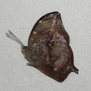 Nymphalidae Memphis (=Anaea) cerealia M A1 Peru