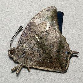 Nymphalidae Memphis (=Anaea) arginussa/lemnos M A1 Peru