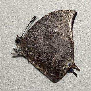 Nymphalidae Memphis alberta M A1 Peru