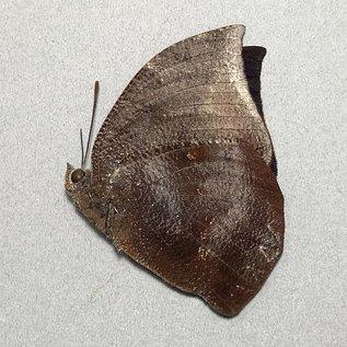 Nymphalidae Memphis vicina M A1 Peru