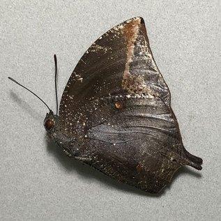 Nymphalidae Memphis arachne psammis M A1- Peru