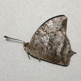 Nymphalidae Memphis marvis morpheus M A1 Peru