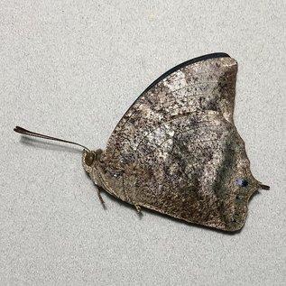 Nymphalidae Memphis marvis morpheus M A1- Peru