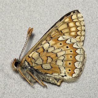 Nymphalidae Euphydryas aurinia P A1 Armenia