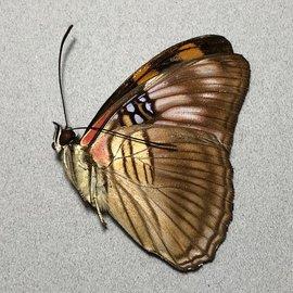 Nymphalidae Adelpha mesentina mesentina M A1 Peru