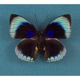 Nymphalidae Agrias beatifica beata (staudingeri) M A1/A1- Peru