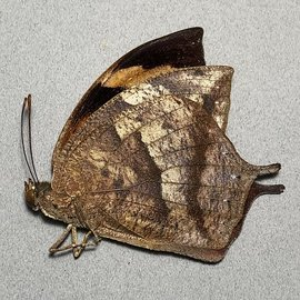 Nymphalidae Anaea glycerium M A1 Ecuador