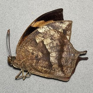 Nymphalidae Anaea glycerium M A1/A1- Ecuador