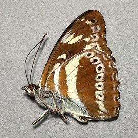 Nymphalidae Athyma asura asura M A1 Thailand