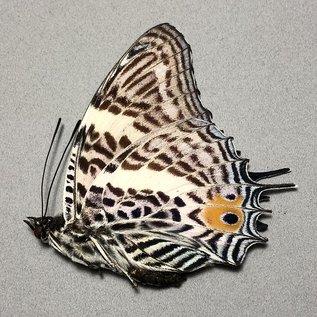Nymphalidae Baeotus (Megistanis) baeotus M A1 Bolivia