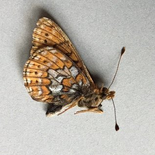 Nymphalidae Boloria astarte astarte F A1/A1- Canada