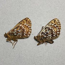 Nymphalidae Boloria polaris polaris PAIR A1 Canada