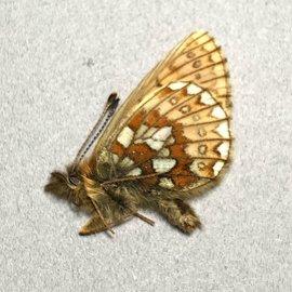 Nymphalidae Boloria eunomia denali M A1 Canada