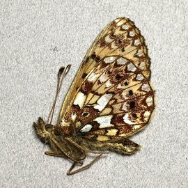 Nymphalidae Boloria selene astrocostalis M A1 Canada