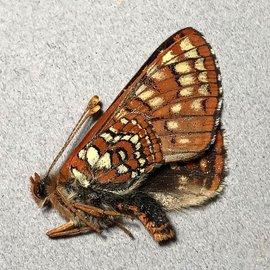 Nymphalidae Euphydryas editha hutchinsi M A1 Canada