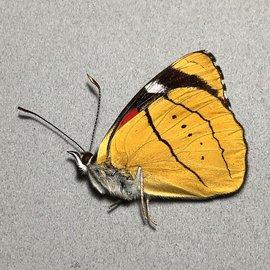 Nymphalidae Perisama humboldti M A1 Peru