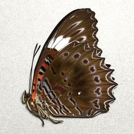 Nymphalidae Cethosia chrysippe M A1 PNG