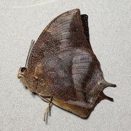 Nymphalidae Fountainea (=Anaea) eurypyle confusa M A1 Peru