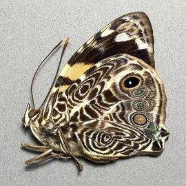 Nymphalidae Smyrna karwinskii M A1 Peru