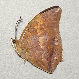 Nymphalidae Charaxes aristogiton M A1 Thailand